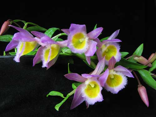 Dendrobium loddigesii
