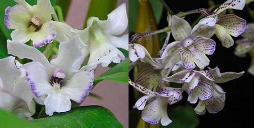 Dendrobium Maiden Charlotte x Micro Chip