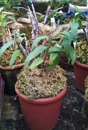 Dendrobium moniliforme Matsushima Pink