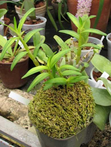 Dendrobium moniliforme Nikko-Den