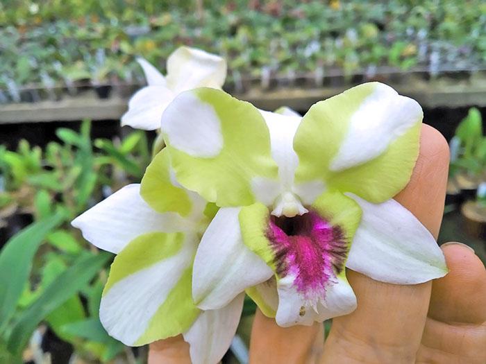 Dendrobium New Emma Mutante