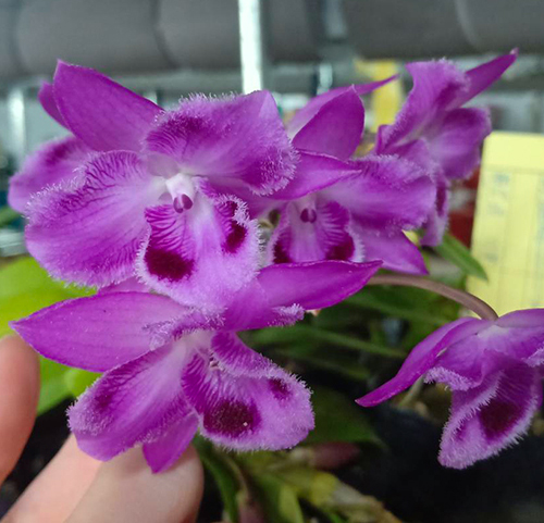 Dendrobium parishii 'Six Eyes' x self