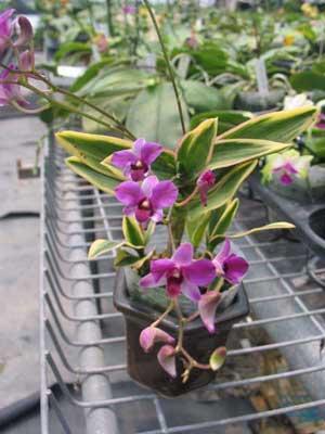 Dendrobium phalaenopsis mini 'Variegated leaf'