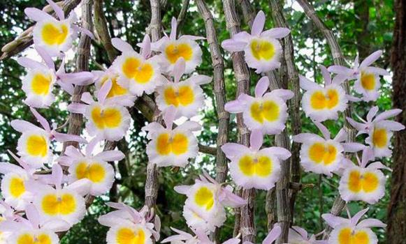 Dendrobium polyanthum yellow