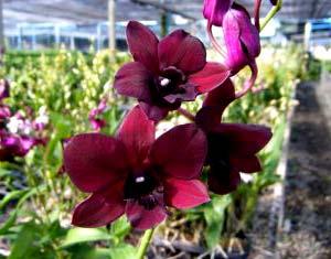 Dendrobium Red - Black