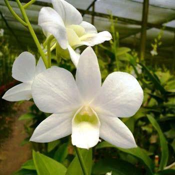 Dendrobium Snow White