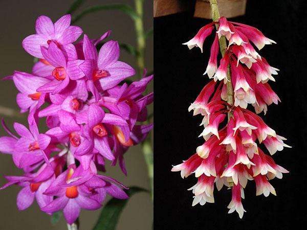 Dendrobium sulawesiense x lawesii (white lip)