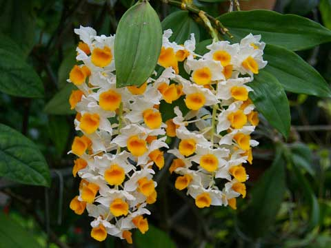 Dendrobium thyrsiflorum