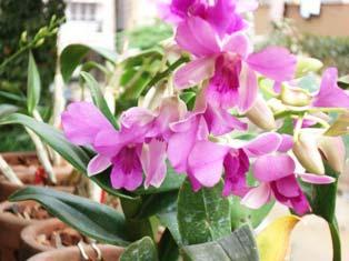 Dendrobium Valentine