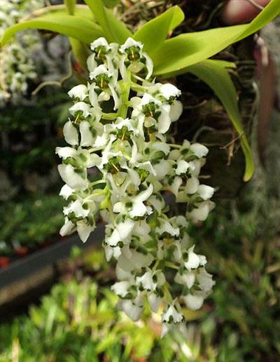 Dipteranthus grandiflora