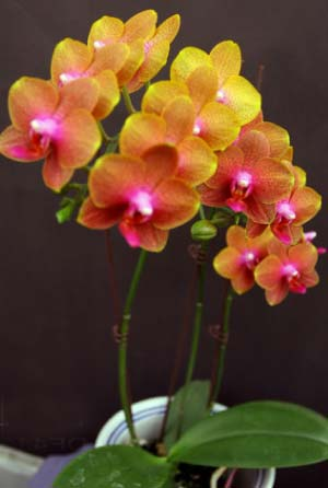 Doritaenopsis Gan Lin Sunset 'Orange'