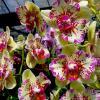 Doritaenopsis I-Hsin Spot Leopard 'peloric'