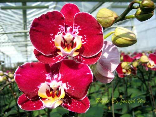 Doritaenopsis Joy Angel Voice 'Splendid'