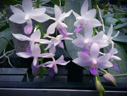 Doritaenopsis Kenneth Schubert x Phalaenopsis bellina blue