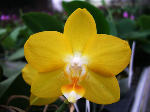 Doritaenopsis Sogo Nihou '#1' x Phalaenopsis I-Hsin Sunflower