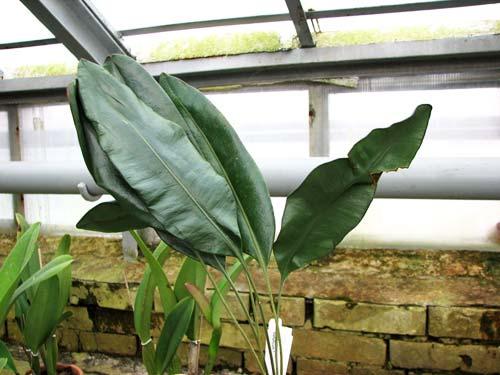 Elaphoglossum metallicum
