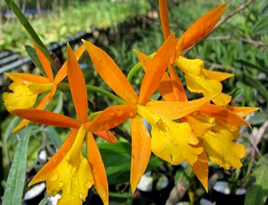 Epicattleya Orange Blaze