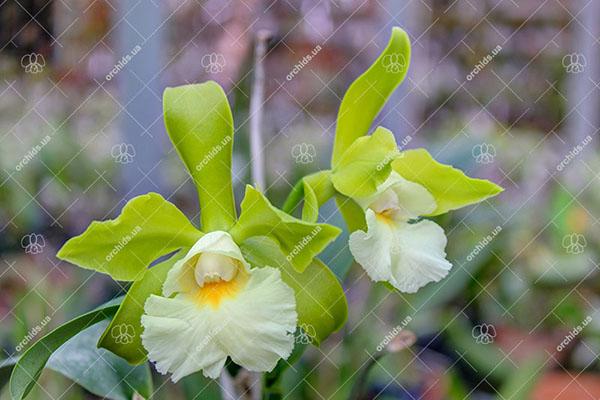 Epicattleya Siam Jade (Cattleya Penny Kuroda x Epicattleya Vienna Woods)
