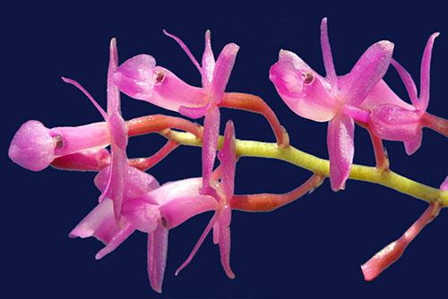 HOA GIEO TỨ TUYỆT 2 - Page 2 Epidendrum-amethystinum-foto-4791