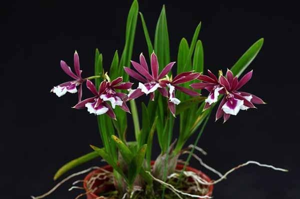 Epidendrum Chien Ya Smile 'K S' (Epi. polybulbon x E. cordigera)