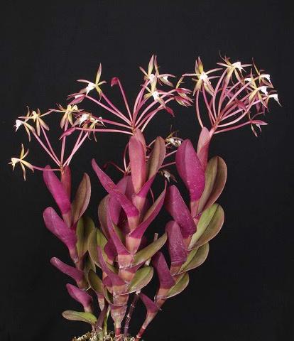 Epidendrum lacustre