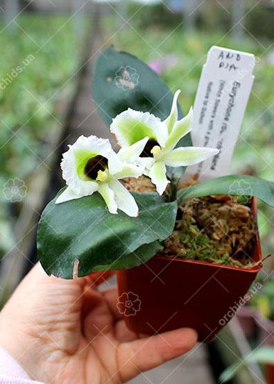 Eurychone rothschildiana