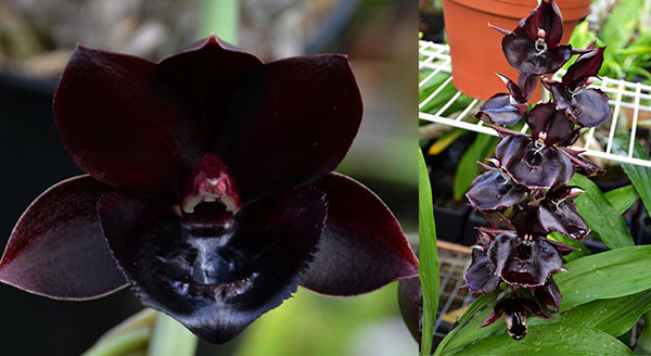 Fredclarkeara After Midnight 'SVO Dark Beauty' x Catasetum Orchidglade 'JTM'