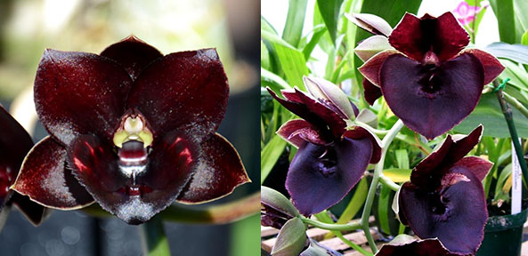 Fredclarkeara Dark There After 'SVO Crazy Good' x Catasetum John C Burchett 'Ursa Major'