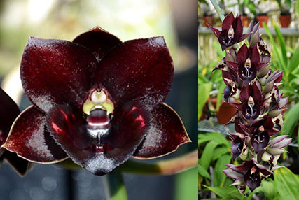 Fredclarkeara Dark There After 'SVO Crazy Good' x Catasetum Jose Abalo 'SVO'