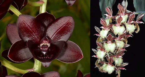 Fredclarkeara Enter Light 'SVO Dark Beauty' x Catasetum Frilly Doris 'SVOII'