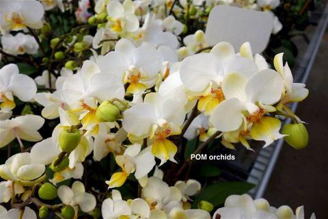 Phalaenopsis Ho's Amy Chistopher
