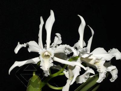 Laelia crispa alba 'Blanca' SELF