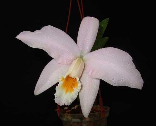 Laelia jongheana alba (Z-88) x Laelia jongheana suavissima