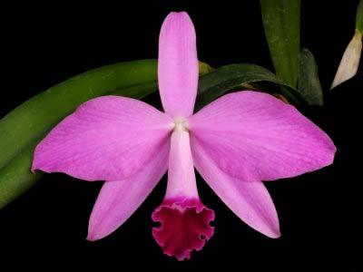 Laelia Newberry Sprite (Laelia perrinii x Laelia pumila)