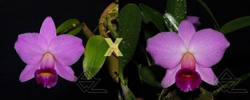 Laelia praestans ('Lena' x 'Edelweiss')