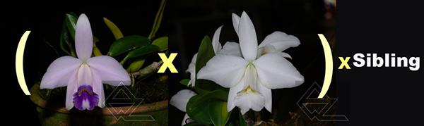 Laelia pumila (coerulea 'Nr 1' x alba 'HI) x SIBLING