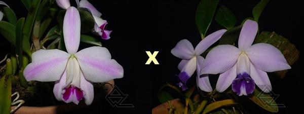 Laelia pumila (oculata 'Imperatriz' x coerulea 'OK')