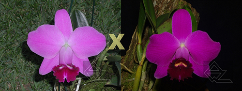 Laelia pumila ('Z-15' x 'Jungle')