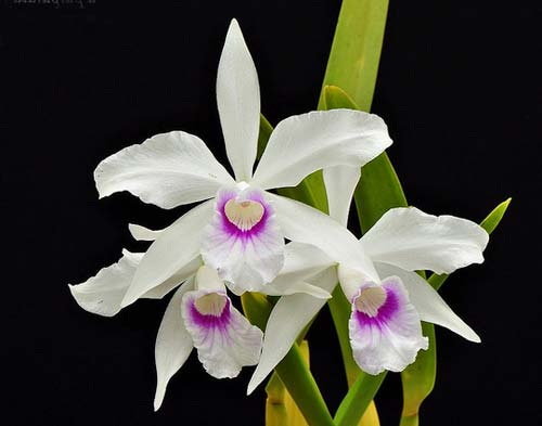 Laelia purpurata (Anelata 'Adans' x Anelata)