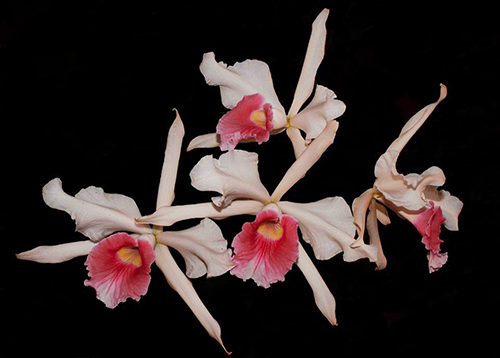 Laelia purpurata carnea ('Rosaura' x 'Ohara')