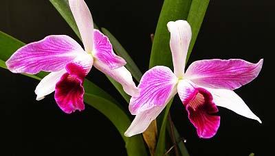 Laelia purpurata (flamea marginata x flamea marginata)