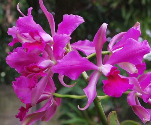 Laelia purpurata rubra flamea 'Osorio' x Cattleya leopoldii 'Marrom Glace'