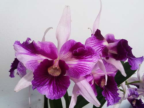 Laelia purpurata (venosa x trilabelo)