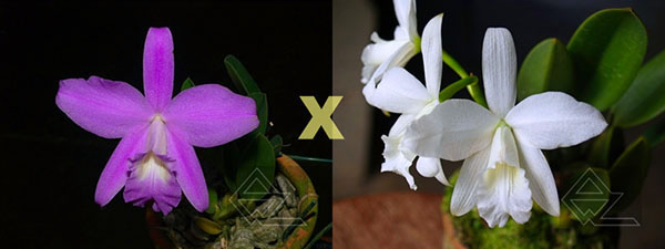 Laelia sincorana (concolor 'BO' x (sincorana alba x SELF))