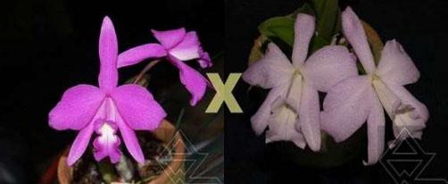 Laelia sincorana (concolor escura 'Diamantina' x delicata 'Pluma')