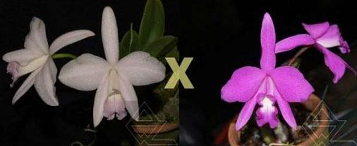 Laelia sincorana (delicata 'Orvalho' x concolor escura 'Diamantina')