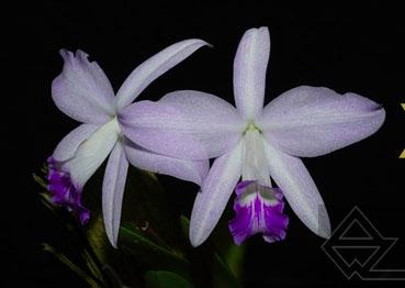 Laelia sincorana (quase semi alba) x SELF