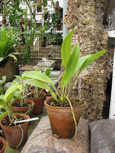 Laelia tenebrosa 'Aline' x Cattleya leopoldii 'Dark Prince'