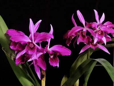 Laeliocattleya Bella var rubra (Cattleya labiata rubra 'Red Queen' BM/JOGA x Laelia purpurata rubra)