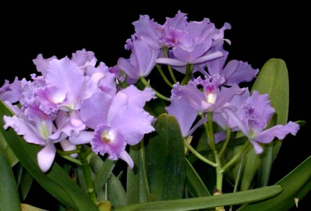 Laeliocattleya Blue Grotto 'Soft Touch'